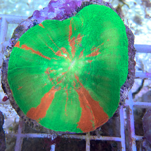 Australian Bleeding Apple Scolymia