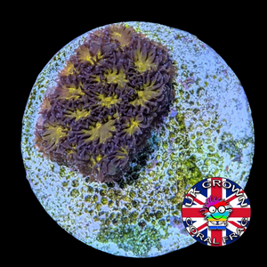 Orange Leptastrea Frag (UK Grown)