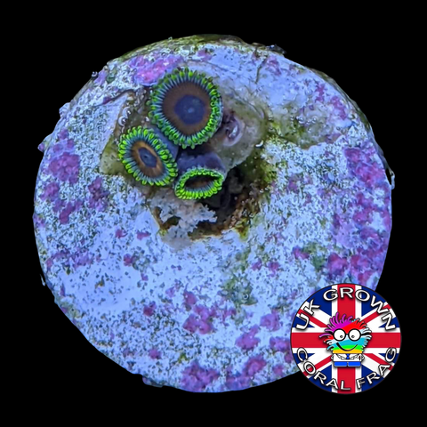 Eagle Eyes Zoa Frag (UK Grown)