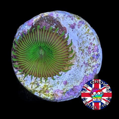 Toxic Green Paly Zoa Frag (UK Grown)