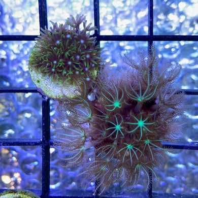 Green Star Polyps Twin Pack