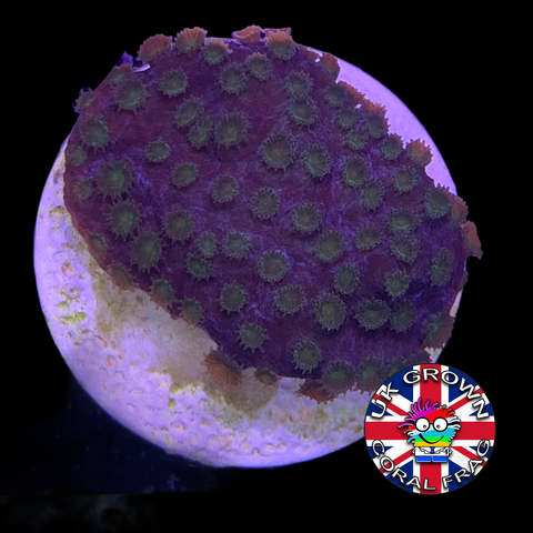 Green Polyp Cyphastrea (UK Grown)