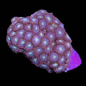 Zoa Mini Colony