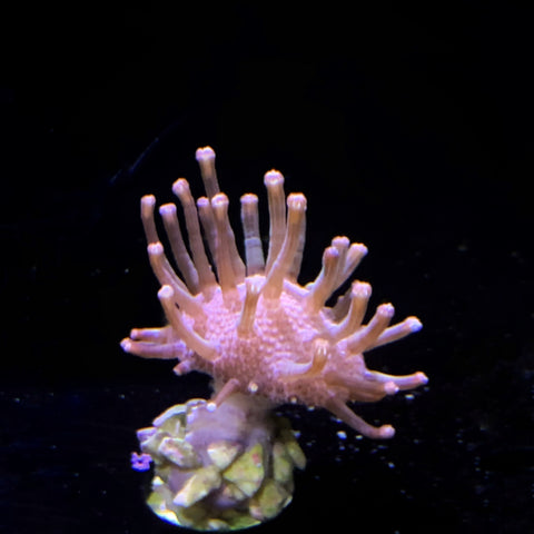 Mini Toadstool coral