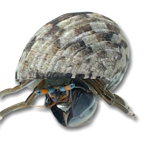 Blue Eye Hermit Crab (Collection Only)