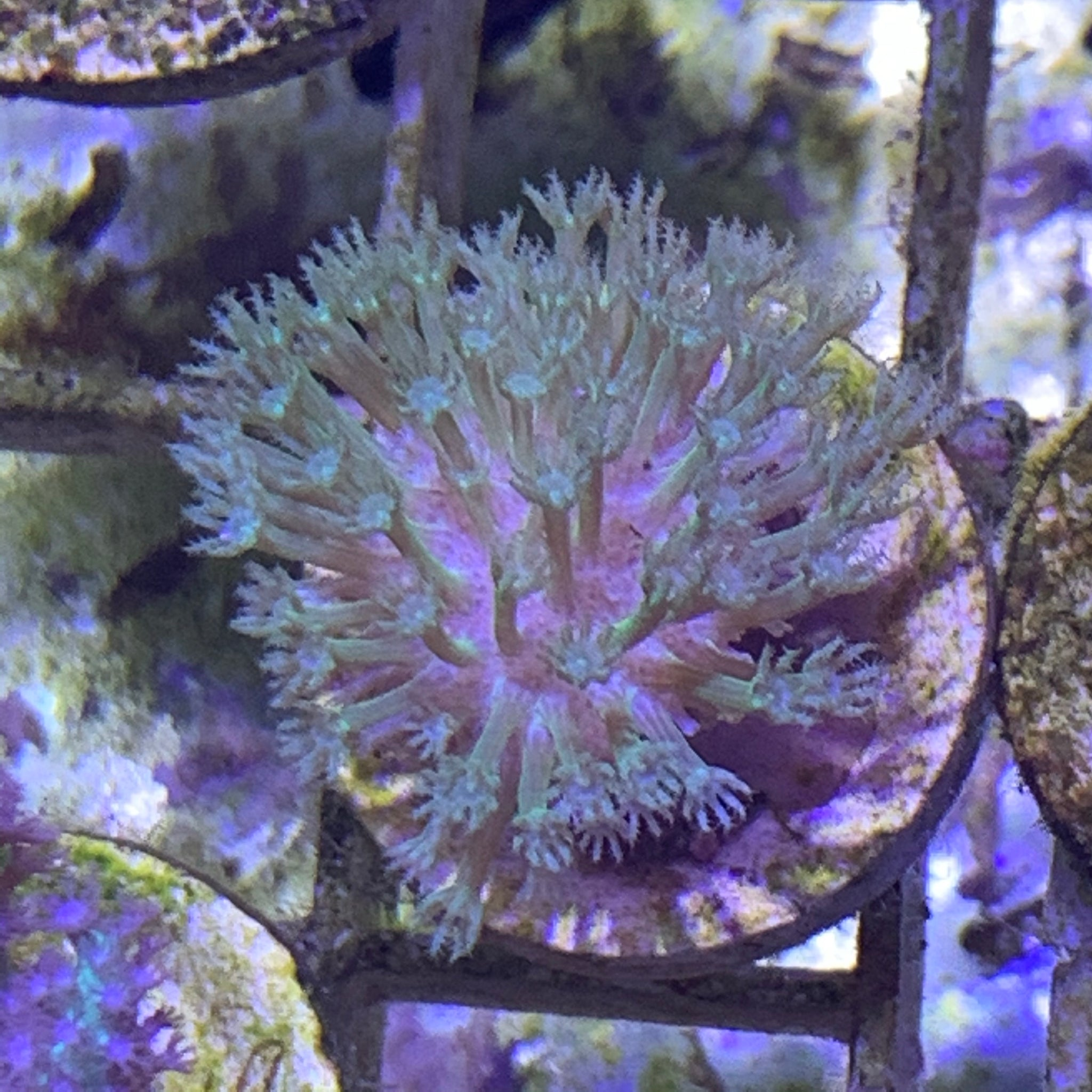 Mini Green Toadstool Coral