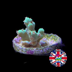 Acropora Frag (UK Grown)