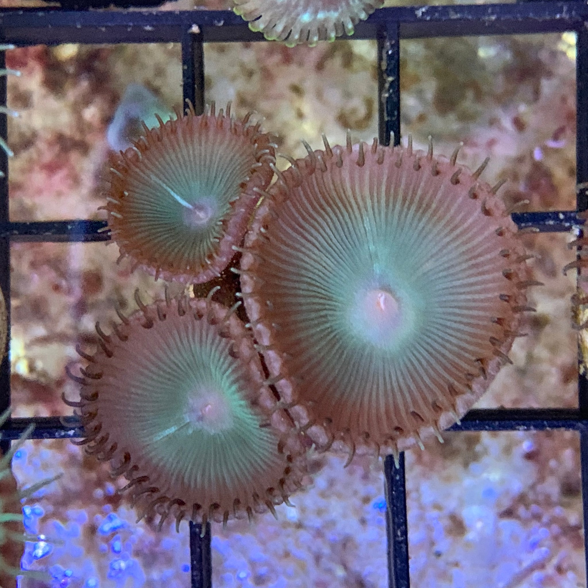 3 Polyps Saturn's Ring paly Zoa