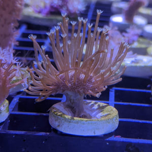 Toadstool Coral