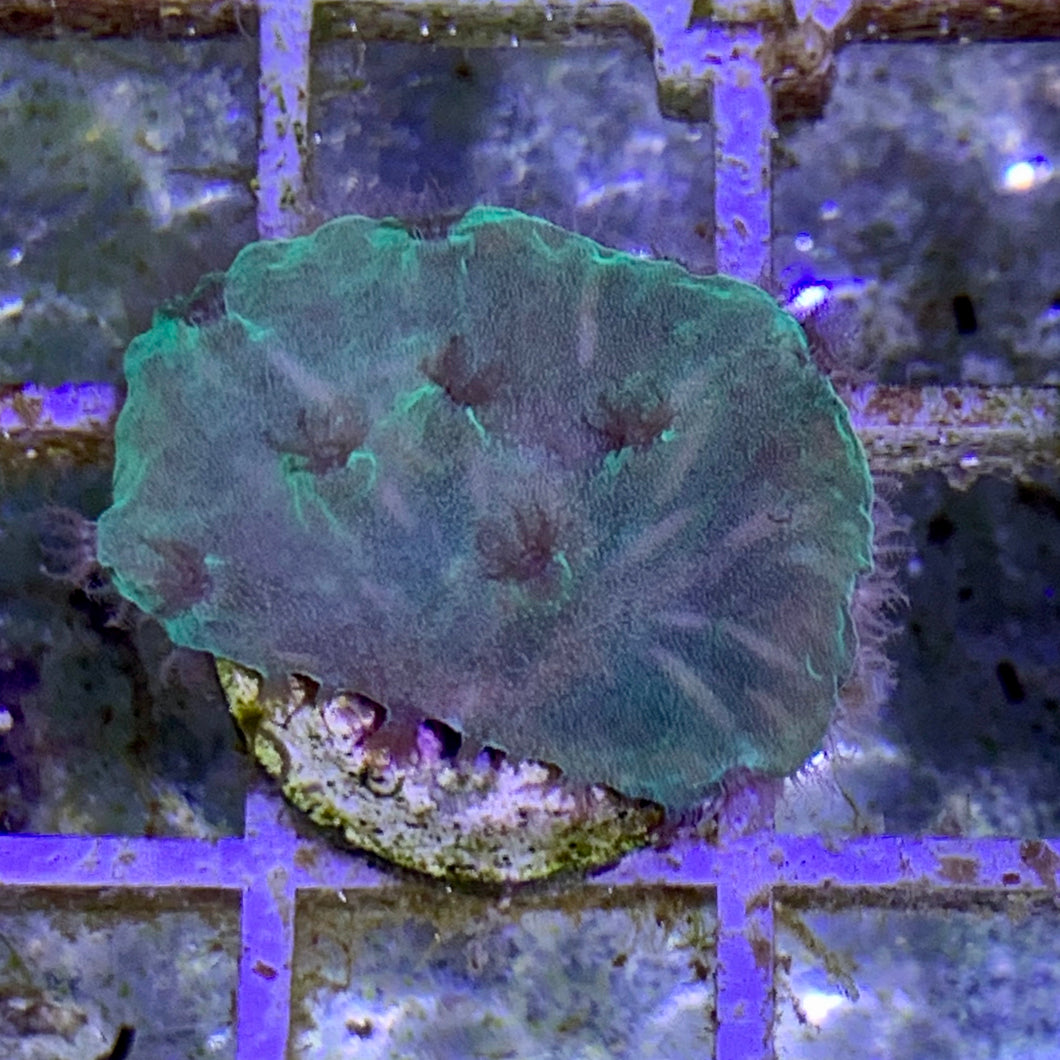 Green Cabbage Coral