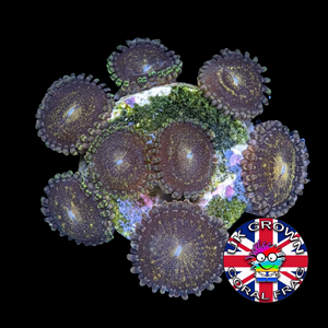 Reverse Space Monster Zoa Frag (UK Grown)