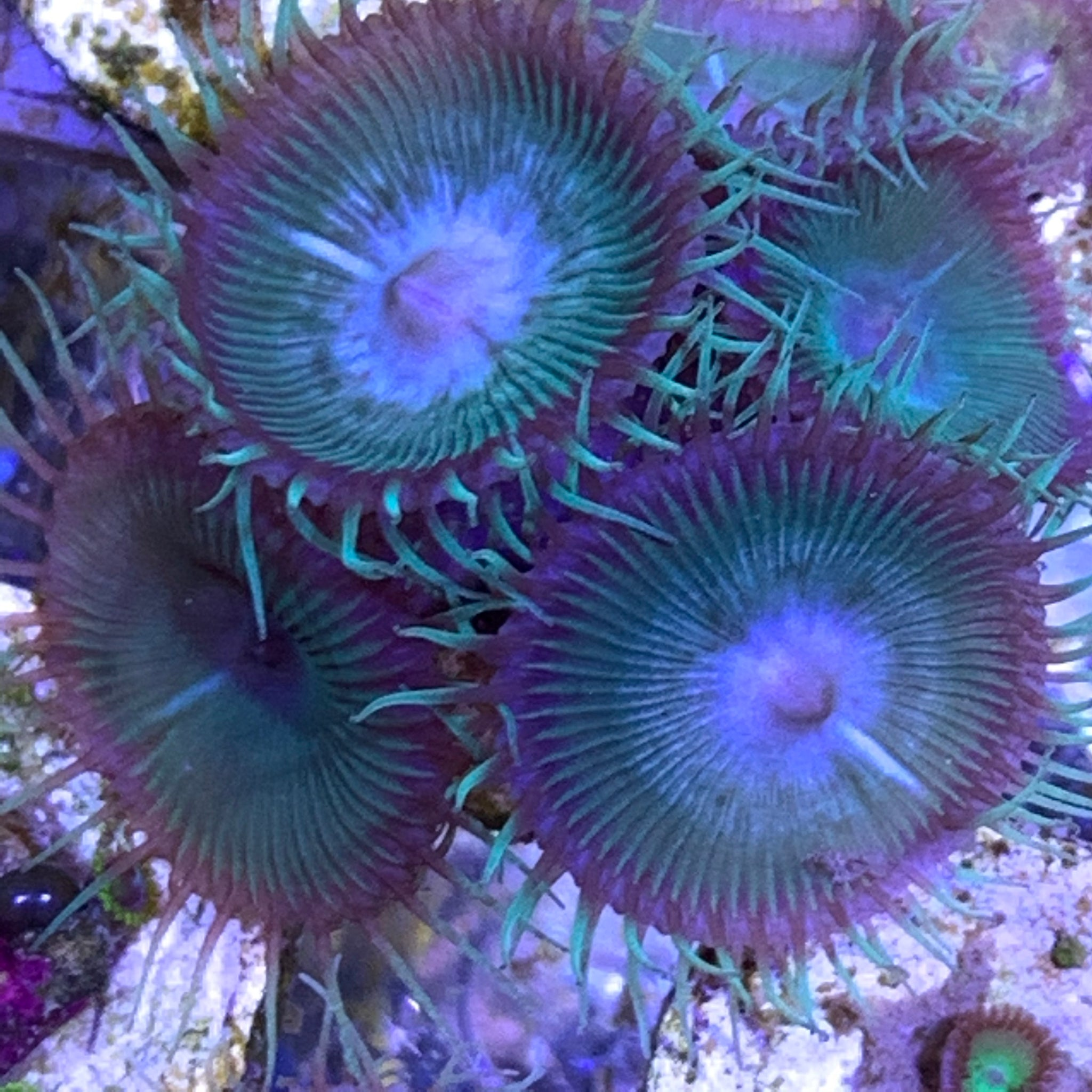 Paly Zoa frag