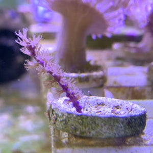 Purple Plume Gorgonian