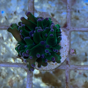 Branching Green Frogspawn Frag (Single Head)