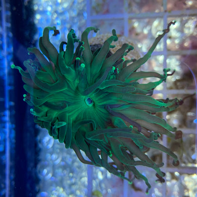 Branching Green Torch Frag (Single Head)