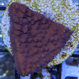 Purple Polyp Red Plating Montipora