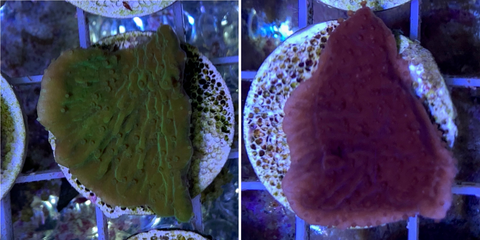 Red & Green plating Montipora Twin Pack