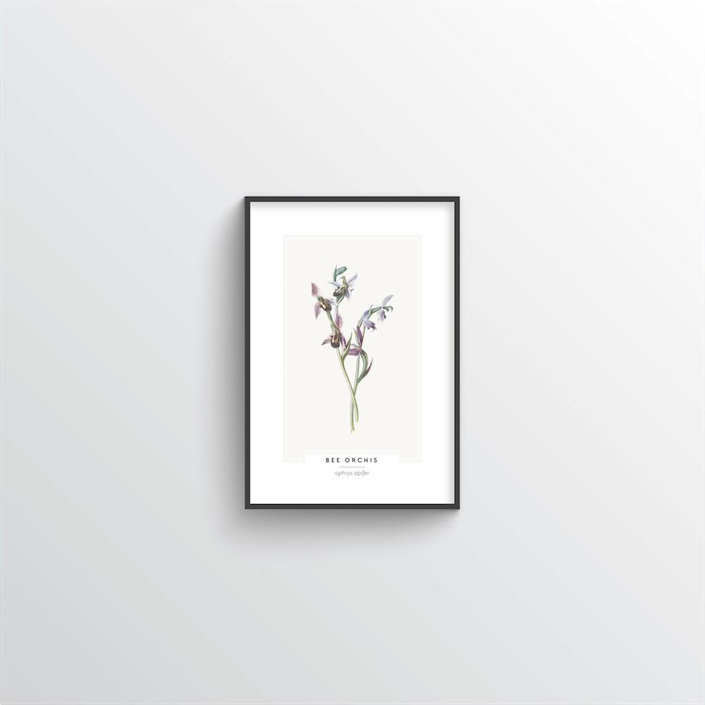 Bee Orchis Botanical Art Print - Point Two Design