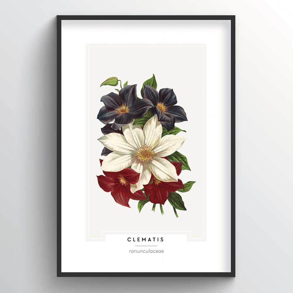 Clematis Botanical Art Print - Point Two Design