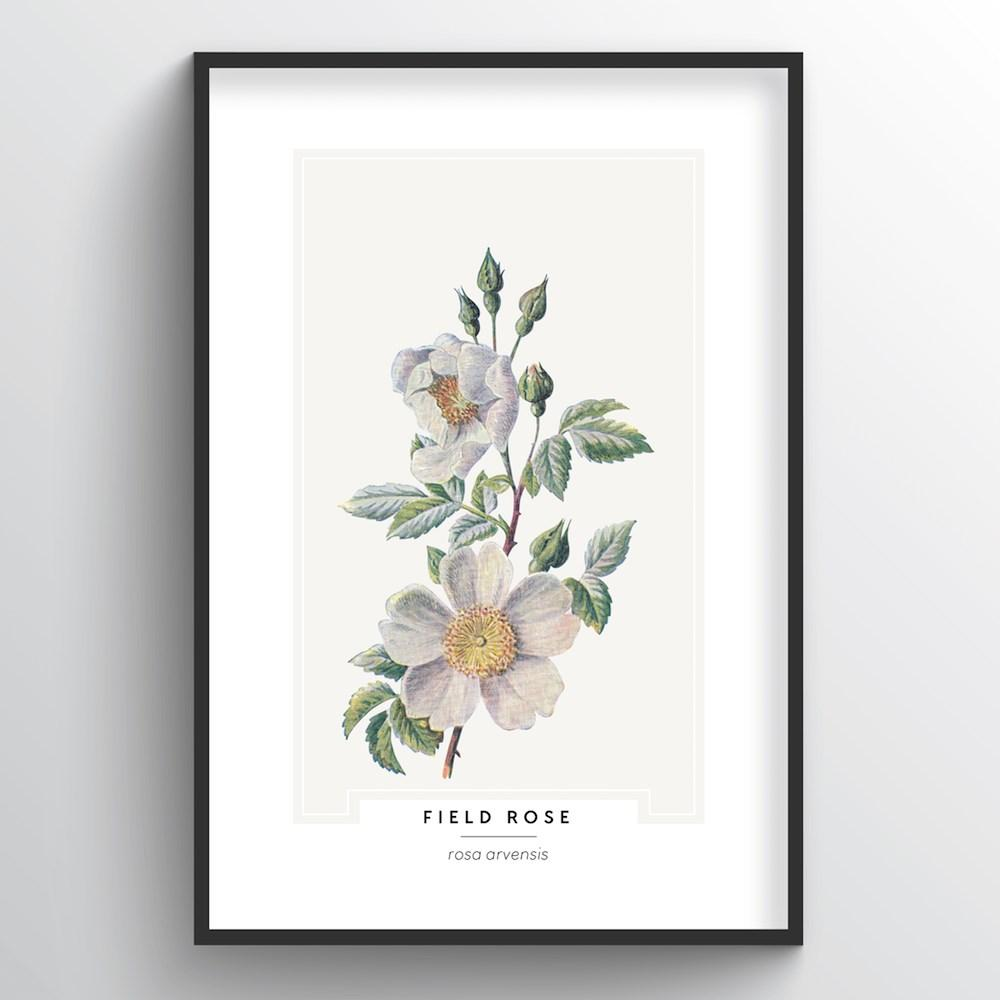 Field Rose Botanical Art Print - Point Two Design