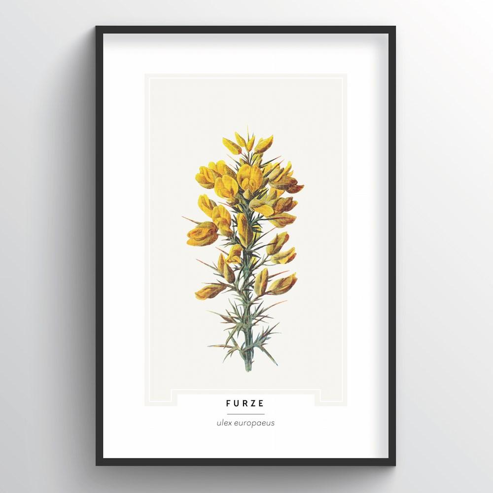 Furze Botanical Art Print - Point Two Design
