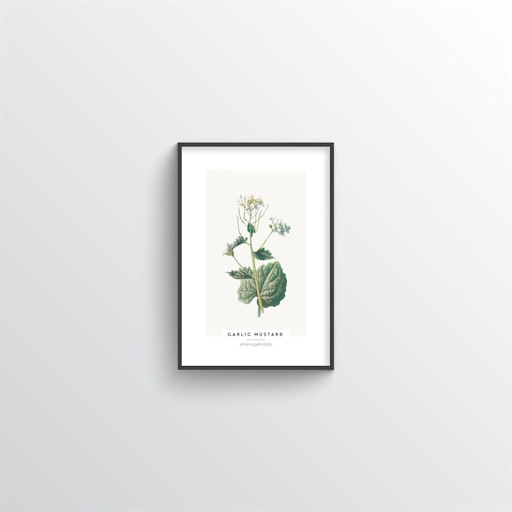 Garlic Mustard Botanical Art Print - Point Two Design