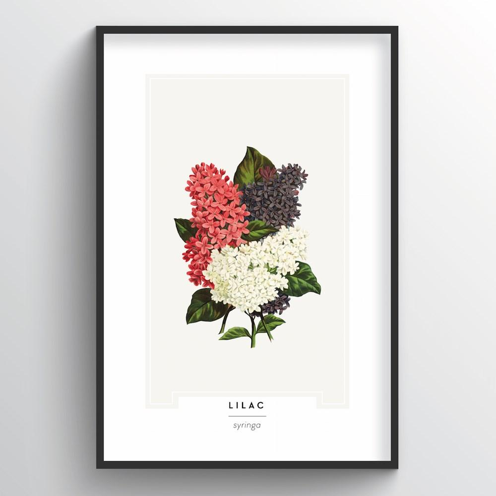 Lilac Botanical Art Print