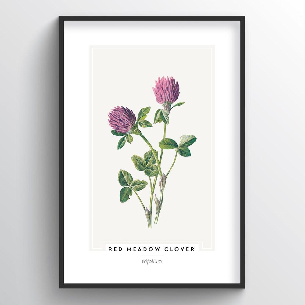 Red Meadow Clover Botanical Art Print