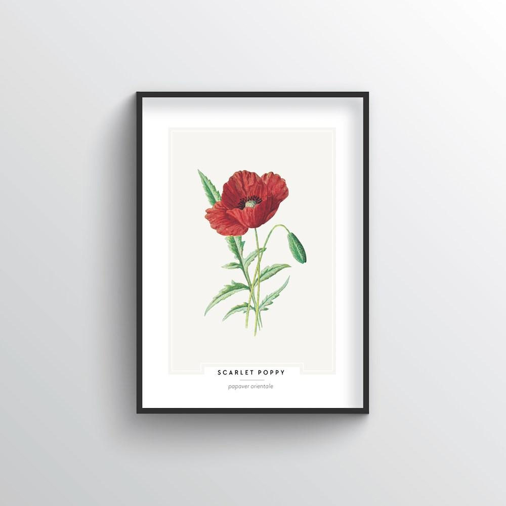 Scarlet Poppy Botanical Art Print