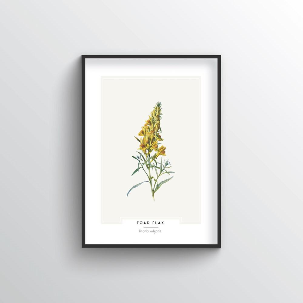 Toad Flax Botanical Art Print