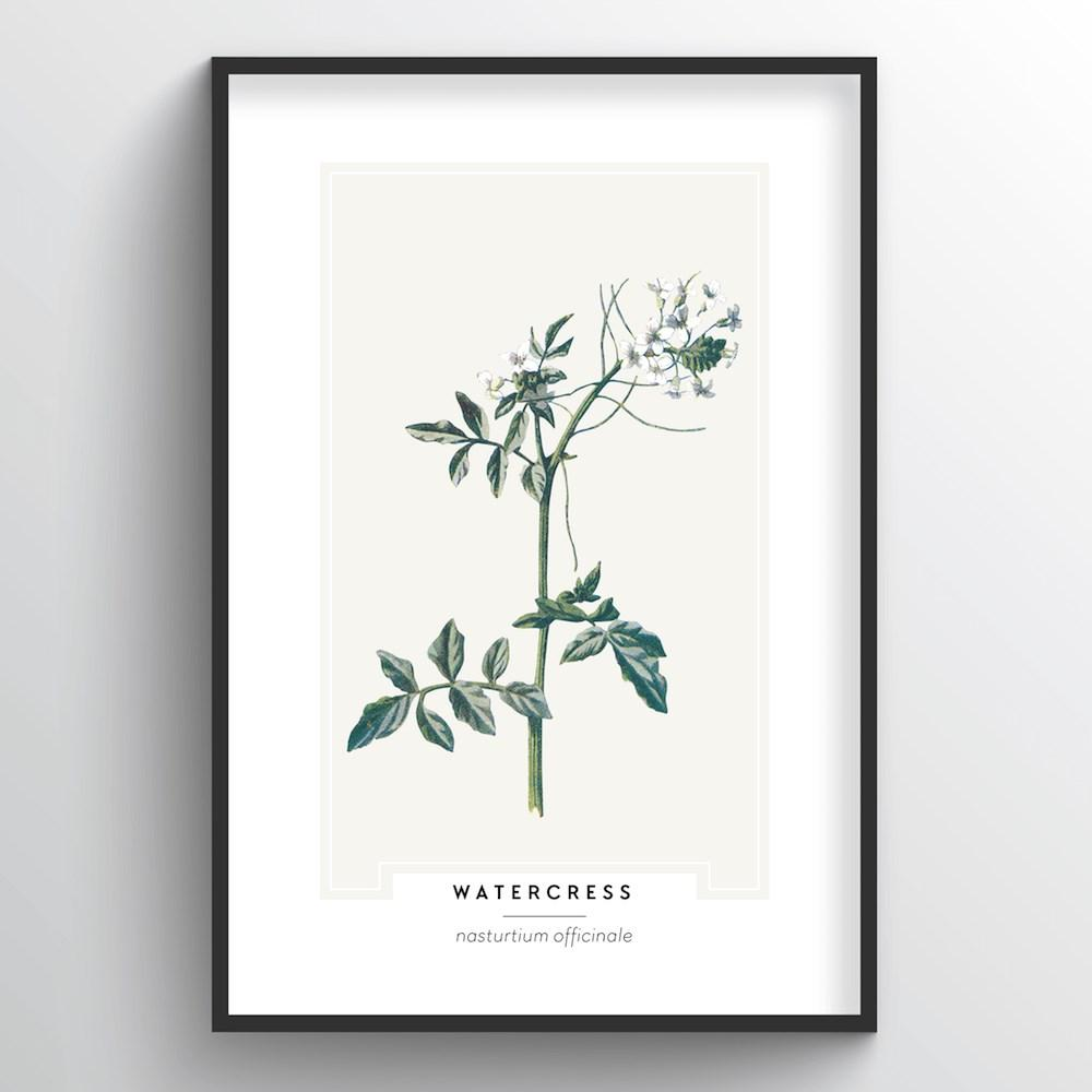 Watercress Botanical Art Print