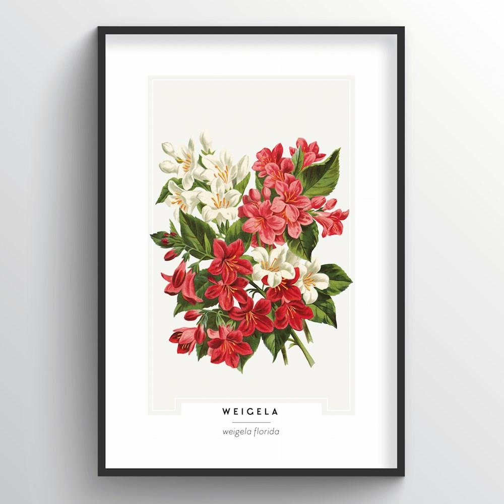 Weigela Botanical Art Print