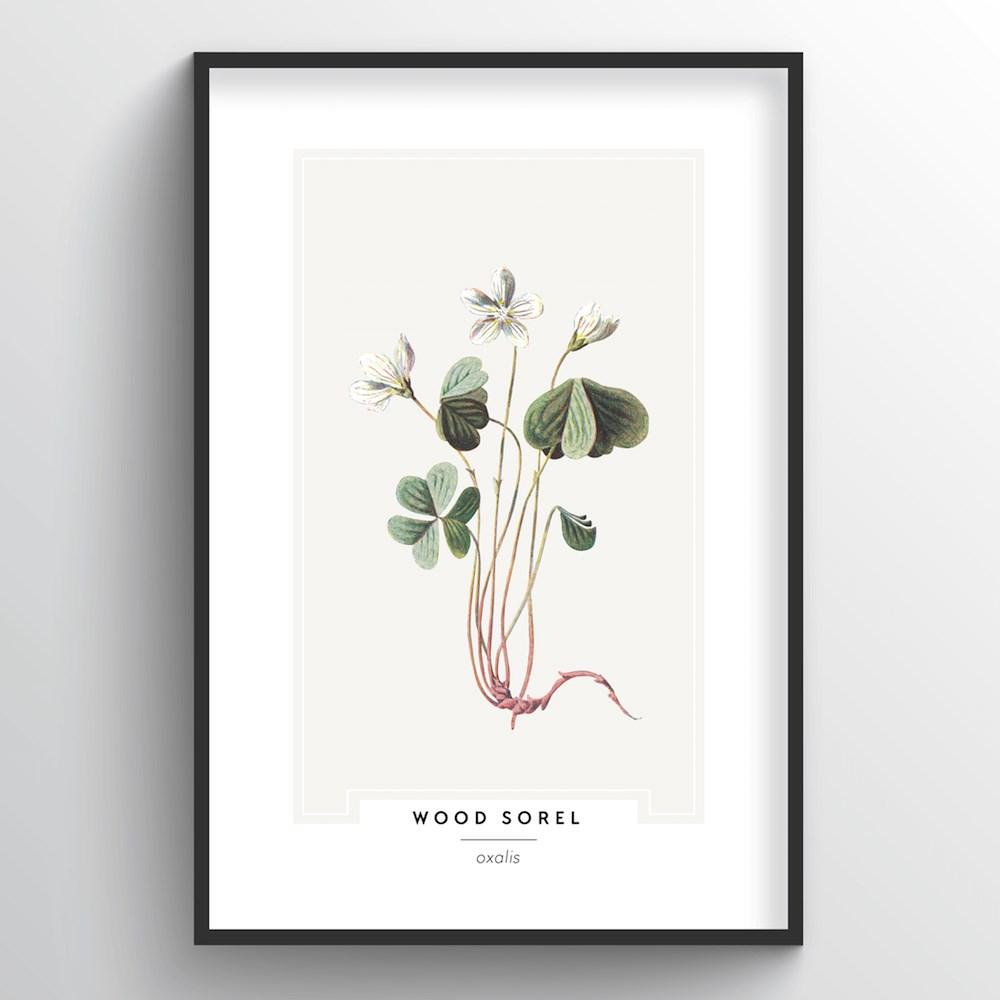 Wood Sorel Botanical Art Print