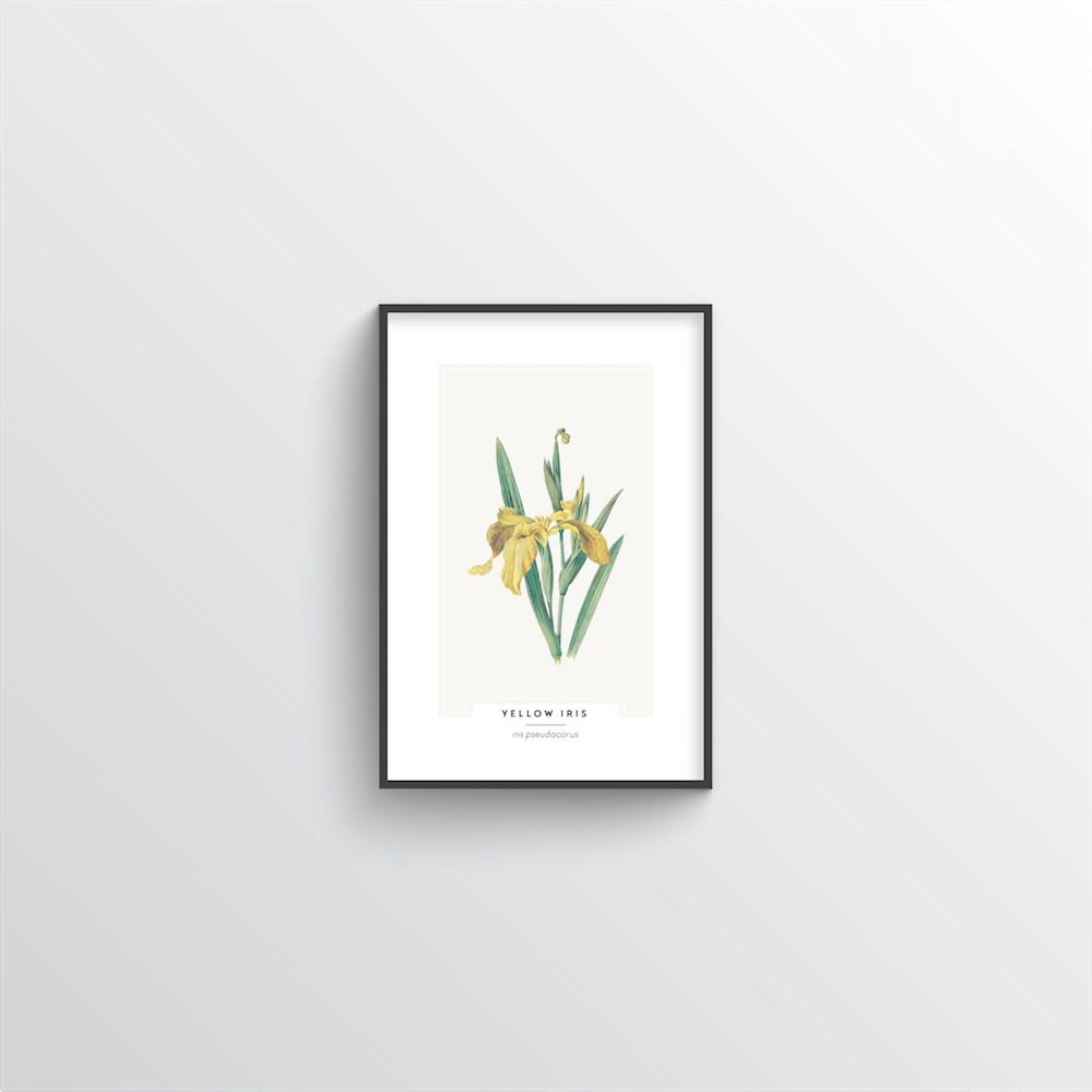 Yellow Iris Botanical Art Print