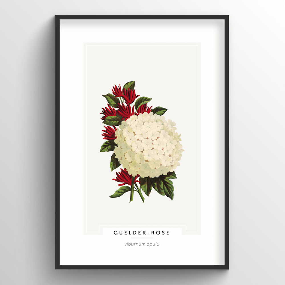 Guelder Rose Botanical Art Print
