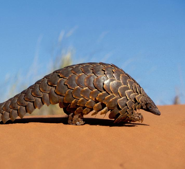 African Pangolin Working Group