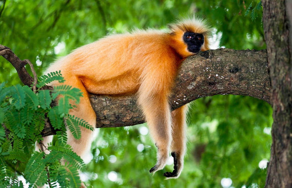 Endangered monkey (Golden Langur) laying on tree branch in India