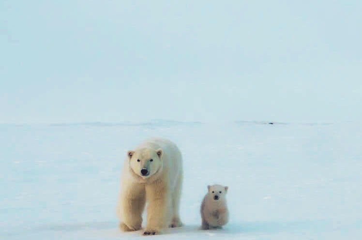 Southern Beaufort Sea Polar Bear Research