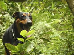 firo the dog explorer in the forest