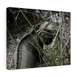 Amazing native Iguana of Mona Island - Puerto Rico - the Galapagos of the Caribbean - in Pajaros beach Canvas Printify