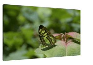 Canvas - Butterfly colored green like the forest - Rio Sabana - El Yunque Rainforest Puerto Rico - Yunque Store