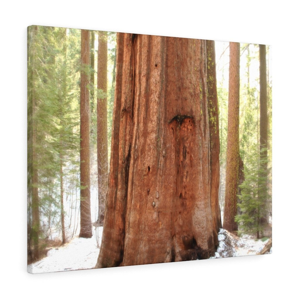 Canvas Gallery Wraps - The US National Parks - Yosemite Park famous Sequoia tree - California - USA NPS - Yunque Store