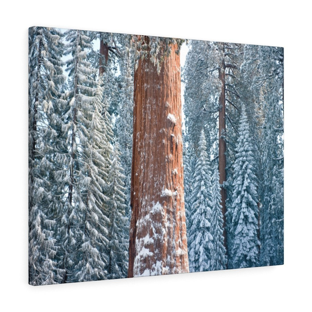 Canvas Gallery Wraps - The US National Parks - Yosemite Park famous Sequoia trees in winter - California - USA NPS - Yunque Store