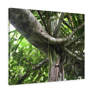 Canvas Gallery Wraps - US Made - CG Pro Prints in 2 days - Rio Sabana - El Yunque exploration on Sep 2019 - A living Sierra Palm had a tree fell on it - possibly during Maria Canvas Printify
