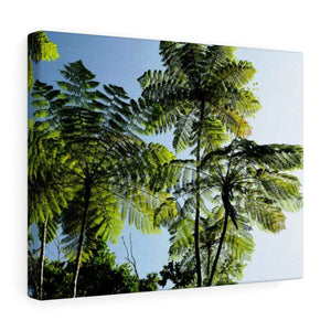 Canvas Gallery Wraps - US Made - CG Pro Prints in 2 days - Rio Sabana - El Yunque exploration on Sep 2019 - An ancient tree- the Fern Palms on the end of PR 191 road Canvas Printify