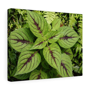 Canvas Gallery Wraps - US Made - CG Pro Prints in 2 days - Rio Sabana - El Yunque exploration on Sep 2019 - Common Verguenza plants of the roads and trails Canvas Printify