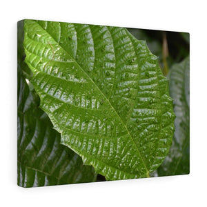 Canvas Gallery Wraps - US Made - CG Pro Prints in 2 days - Rio Sabana - El Yunque exploration on Sep 2019 - Non native Ortiga plant - causes a painful rash for 2 hours Canvas Printify