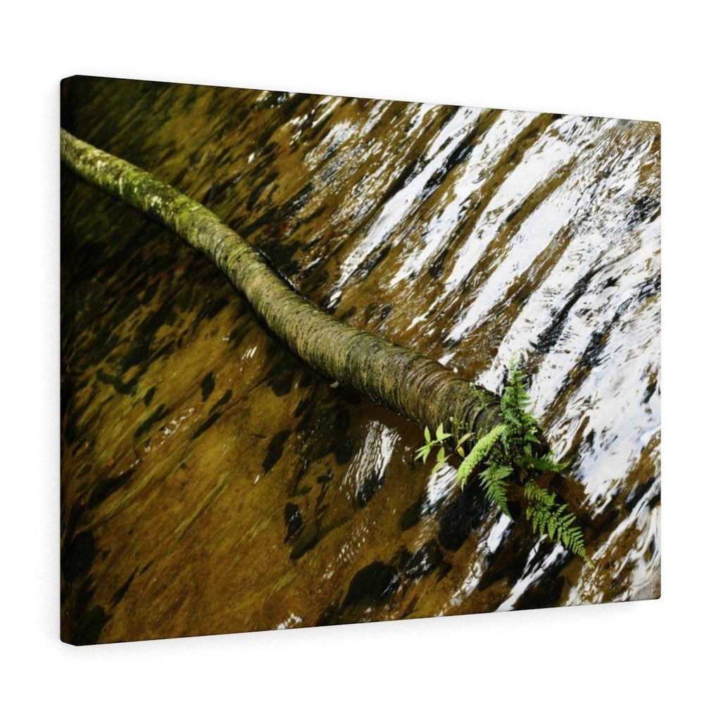 Canvas Gallery Wraps - US Made - CG Pro Prints in 2 days - Rio Sabana - El Yunque exploration on Sep 2019 - Rio Sabana after 1st trail crossing - Fallen Sierra Palm has ferns grwing on it Canvas Printify