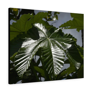 Canvas Gallery Wraps - USA MADE 👨‍👩‍👧‍👧 Unique images of Yagrumo Tree & leafs from El Yunque rainforest PR - Human 👩‍🦰 Vision - Yunque Store