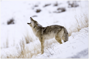 GELATO GLOBAL PRINT - Landscape Aluminum Print - Its mating season for coyotes - Yellowstone National Park, WY USA - Yunque Store